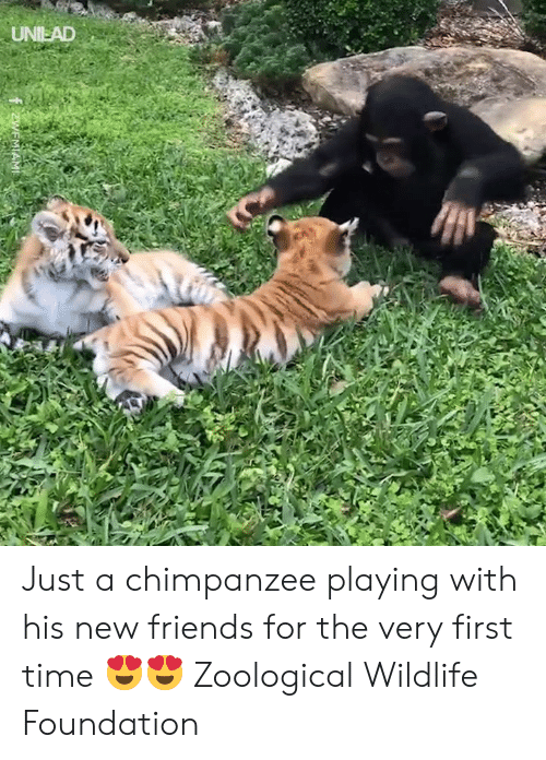 Dank, Friends, and Time: UNIEAD Just a chimpanzee playing with his new friends for the very first time 😍😍  Zoological Wildlife Foundation