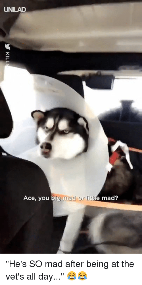"""Dank, Mad, and 🤖: UNILAD  Ace, you big  mad or I  e mad? """"He's SO mad after being at the vet's all day..."""" 😂😂"""