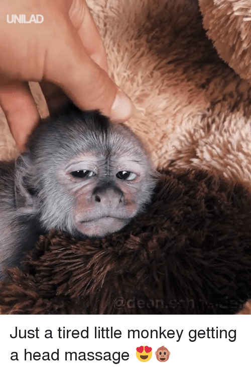 Dank, Head, and Massage: UNILAD  @dean.esh Just a tired little monkey getting a head massage 😍🐵