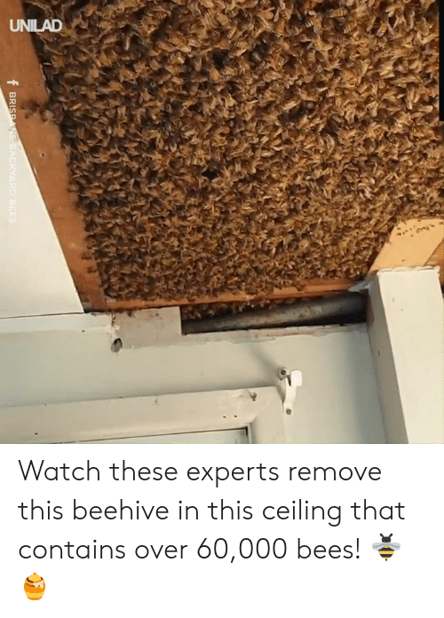 Dank, Watch, and Bees: UNILAD  f BRISPANE BACKYARD BEES Watch these experts remove this beehive in this ceiling that contains over 60,000 bees! 🐝🍯