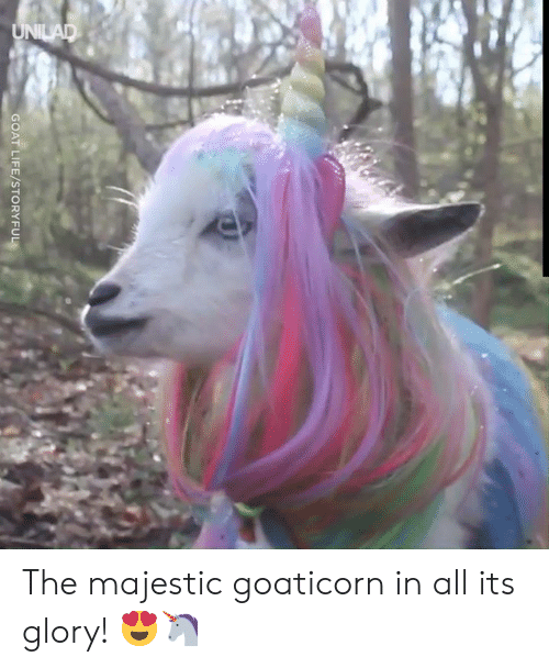 Dank, Life, and Goat: UNILAD  GOAT LIFE/STORYFUL The majestic goaticorn in all its glory! 😍🦄