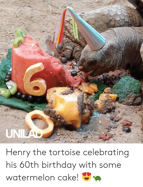 tortoise: UNILAD Henry the tortoise celebrating his 60th birthday with some watermelon cake! 😍🐢