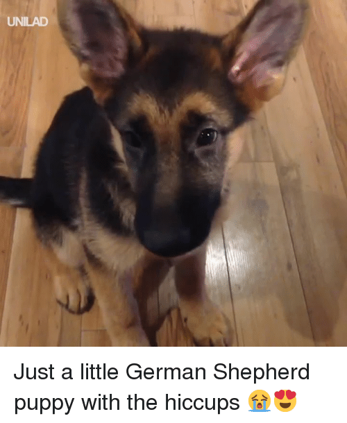 hiccups: UNILAD Just a little German Shepherd puppy with the hiccups 😭😍