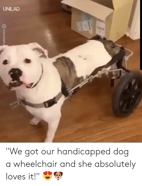 """Dank, 🤖, and Got: UNILAD  O PIGEONPUP """"We got our handicapped dog a wheelchair and she absolutely loves it!"""" 😍🐶"""
