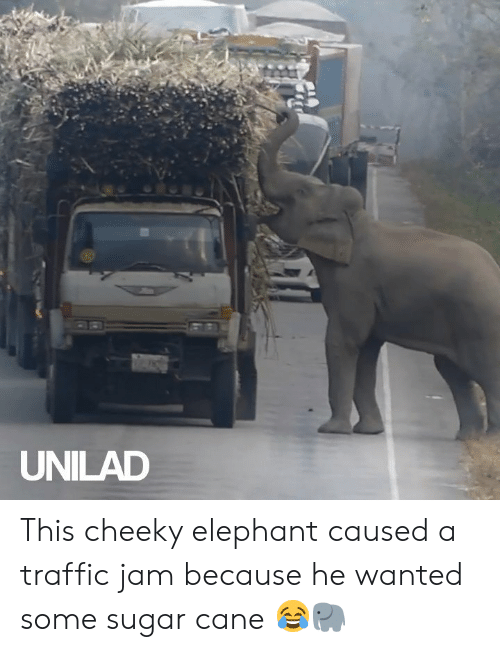 traffic jam: UNILAD This cheeky elephant caused a traffic jam because he wanted some sugar cane 😂🐘