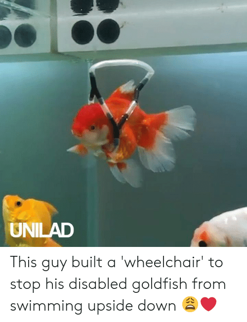 Dank, Goldfish, and Swimming: UNILAD This guy built a 'wheelchair' to stop his disabled goldfish from swimming upside down 😩❤️️