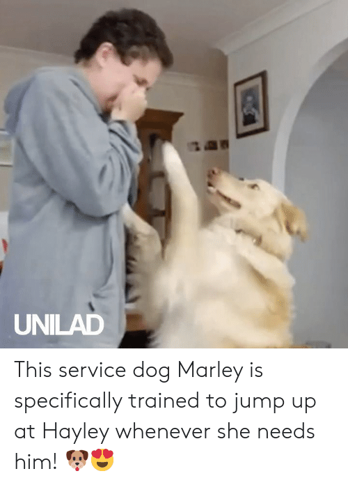 unilad: UNILAD This service dog Marley is specifically trained to jump up at Hayley whenever she needs him! 🐶😍
