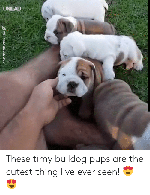 Cutest Thing: UNILAD  WRINKLYBULLDOGS These timy bulldog pups are the cutest thing I've ever seen! 😍😍
