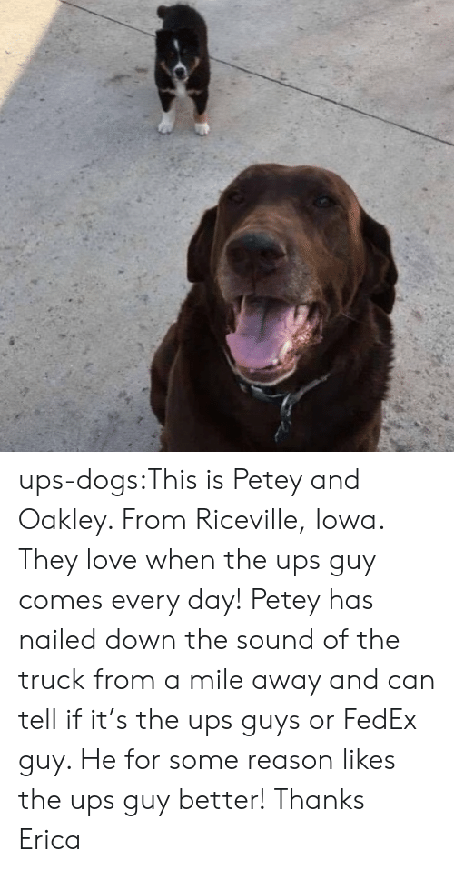 Erica: ups-dogs:This is Petey and Oakley. From Riceville, Iowa. They love when the ups guy comes every day! Petey has nailed down the sound of the truck from a mile away and can tell if it's the ups guys or FedEx guy. He for some reason likes the ups guy better! Thanks Erica