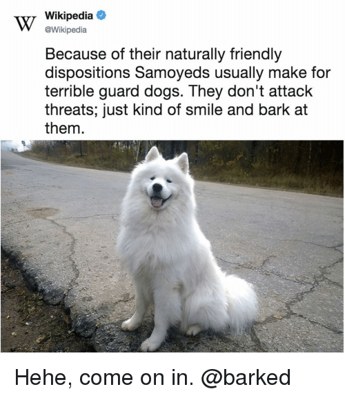 Dogs, Memes, and Wikipedia: v/ Wikipedia  @Wikipedia  Because of their naturally friendly  dispositions Samoyeds usually make for  terrible guard dogs. They don't attack  threats; just kind of smile and bark at  them Hehe, come on in. @barked