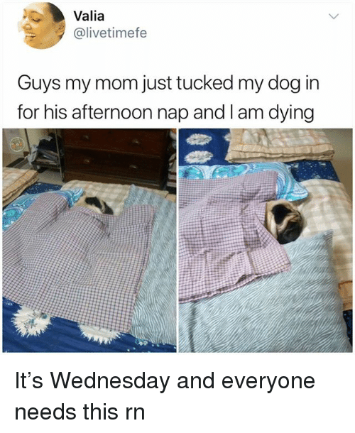 Memes, Wednesday, and Mom: Valia  @livetimefe  Guys my mom just tucked my dog in  for his afternoon nap and I am dying It's Wednesday and everyone needs this rn