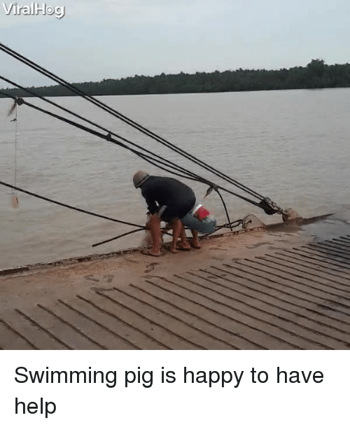 Happy, Help, and Swimming: ViralHog) Swimming pig is happy to have help