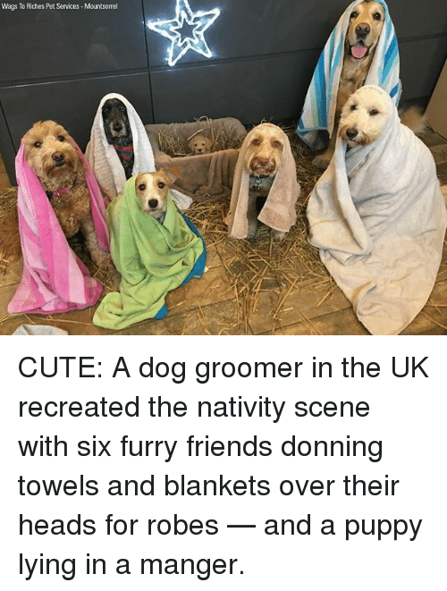 Cute, Friends, and Memes: Wags To Riches Pet Services Mountsorrel CUTE: A dog groomer in the UK recreated the nativity scene with six furry friends donning towels and blankets over their heads for robes — and a puppy lying in a manger.