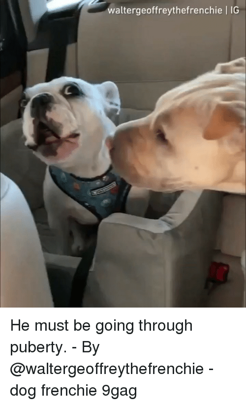9gag, Memes, and Puberty: waltergeoffreythefrenchie | IG He must be going through puberty. - By @waltergeoffreythefrenchie - dog frenchie 9gag