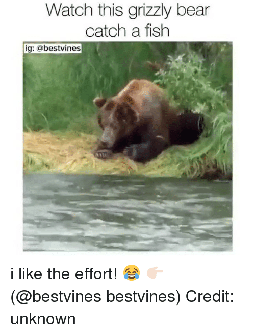 Memes, Bear, and Fish: Watch this grizzly bear  catch a fish  ig: @bestvines i like the effort! 😂 👉🏻(@bestvines bestvines) Credit: unknown