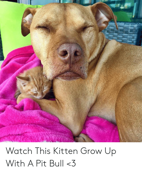 Memes, Watch, and 🤖: Watch This Kitten Grow Up With A Pit Bull <3