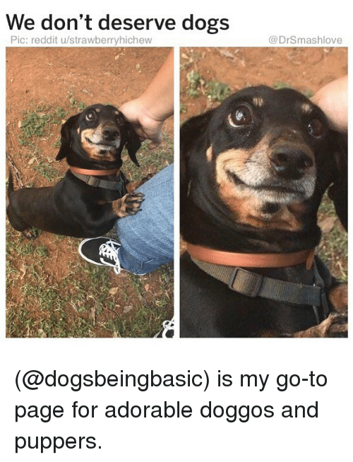 Dogs, Memes, and Reddit: We don't deserve dogs  Pic: reddit u/strawberryhichew  @DrSmashlove (@dogsbeingbasic) is my go-to page for adorable doggos and puppers.