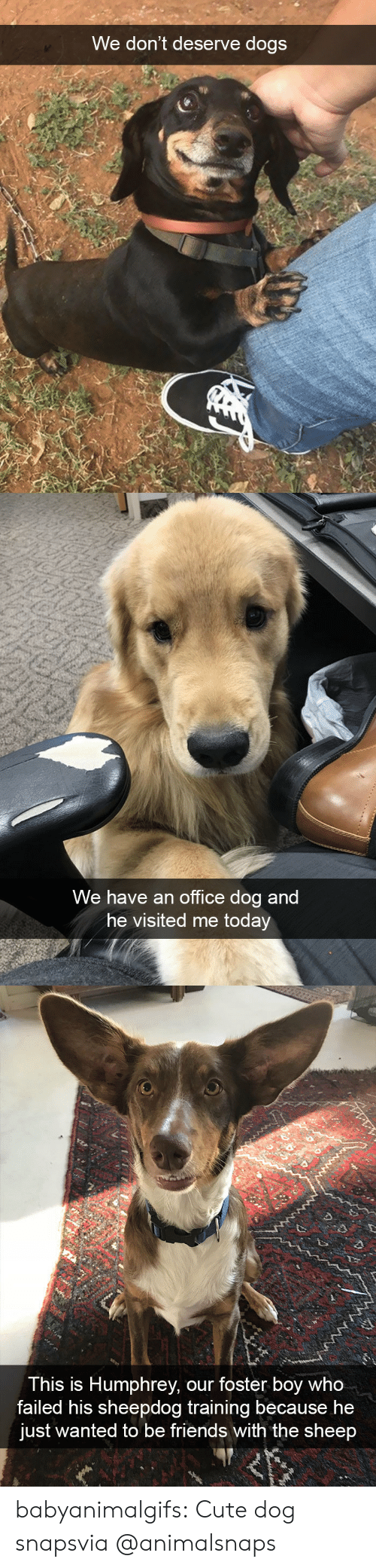 Cute, Dogs, and Friends: We don't deserve dogs   We have an office dog and  he visited me today   This is Humphrey, our foster boy who  failed his sheepdog training because he  just wanted to be friends with the sheep babyanimalgifs:  Cute dog snapsvia @animalsnaps