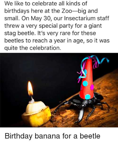 Stag: We like to celebrate all kinds of  birthdays here at the Zoo-big and  small. On May 30, our Insectarium staff  threw a very special party for a giant  stag beetle. It's very rare for these  beetles to reach a year in age, so it was  quite the celebration. Birthday banana for a beetle