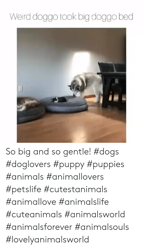 Animals, Dogs, and Puppies: Weird doggo took big doggo bed So big and so gentle! #dogs #doglovers #puppy #puppies #animals #animallovers #petslife #cutestanimals #animallove #animalslife #cuteanimals #animalsworld #animalsforever #animalsouls #lovelyanimalsworld