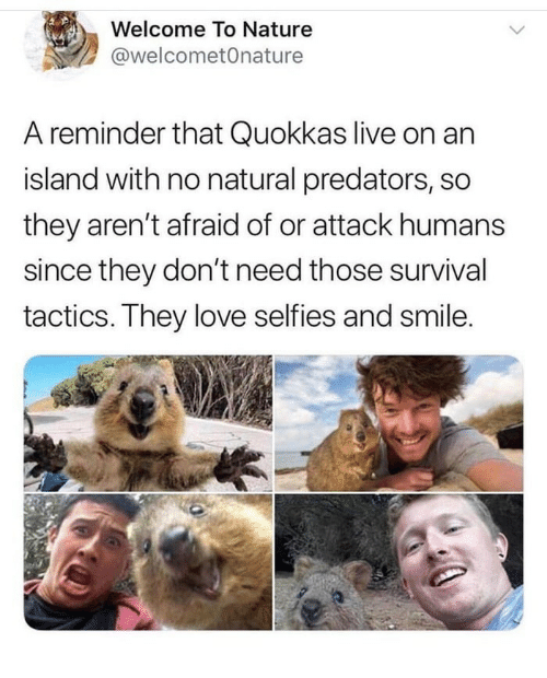 Love, Live, and Nature: Welcome To Nature  @welcometOnature  A reminder that Quokkas live on an  island with no natural predators, so  they aren't afraid of or attack humans  since they don't need those survival  tactics. They love selfies and smile.