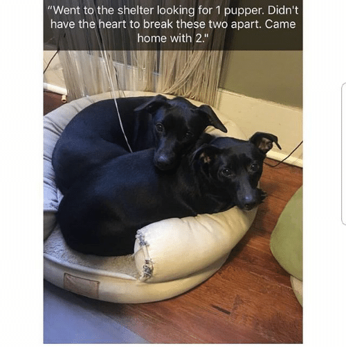 "Memes, Break, and Heart: ""Went to the shelter looking for 1 pupper. Didn't  have the heart to break these two apart. Came  home with 2."""