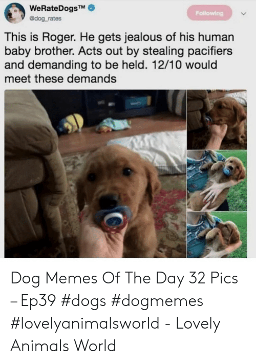 Animals, Dogs, and Jealous: WeRateDogsTM  @dog rates  Following  This is Roger. He gets jealous of his human  baby brother. Acts out by stealing pacifiers  and demanding to be held. 12/10 would  meet these demands Dog Memes Of The Day 32 Pics – Ep39 #dogs #dogmemes #lovelyanimalsworld - Lovely Animals World