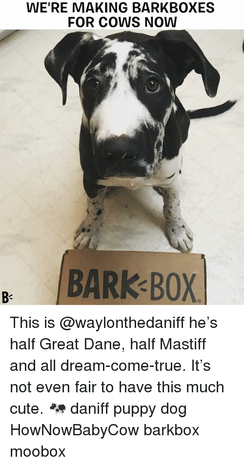 Cute, Memes, and True: WE'RE MAKING BARKBOXES  FOR COWS NOW  BARK BOX  B- This is @waylonthedaniff he's half Great Dane, half Mastiff and all dream-come-true. It's not even fair to have this much cute. 🐄 daniff puppy dog HowNowBabyCow barkbox moobox