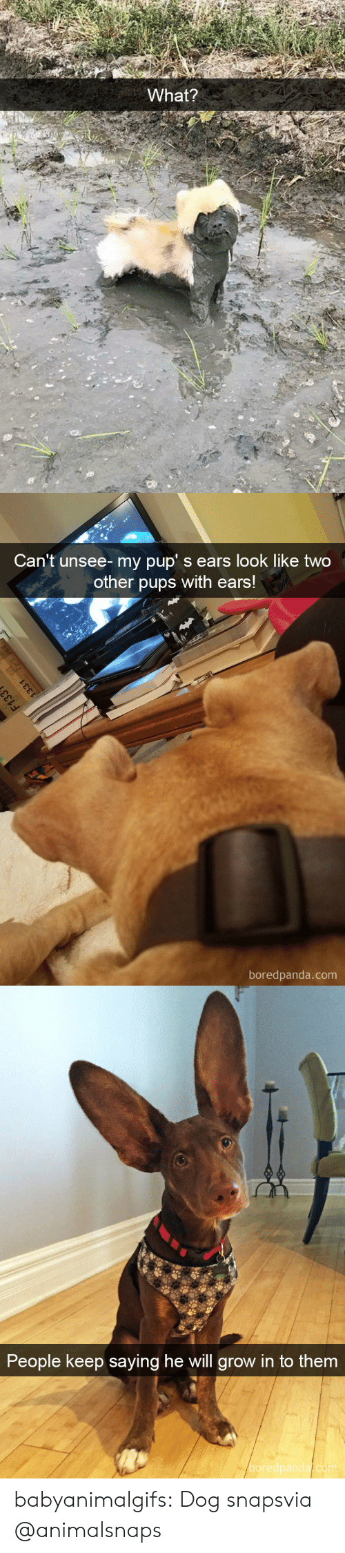 Tumblr, Blog, and Http: What?   Can't unsee- my pup' s ears look like two  other pups with ears!  boredpanda.com   People keep saying he will grow in  to them  boredpanda.com babyanimalgifs:  Dog snapsvia @animalsnaps