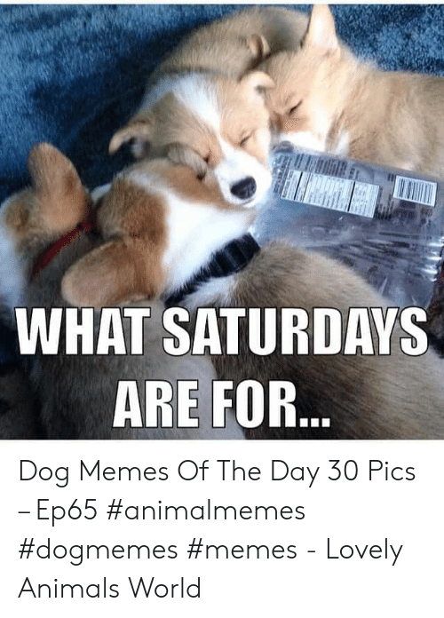 Dog Memes: WHAT SATURDAYS  ARE FOR... Dog Memes Of The Day 30 Pics – Ep65 #animalmemes #dogmemes #memes - Lovely Animals World