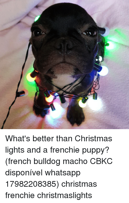 Memes, Puppies, and Whatsapp: What's better than Christmas lights and a frenchie puppy? (french bulldog macho CBKC disponível whatsapp 17982208385) christmas frenchie christmaslights