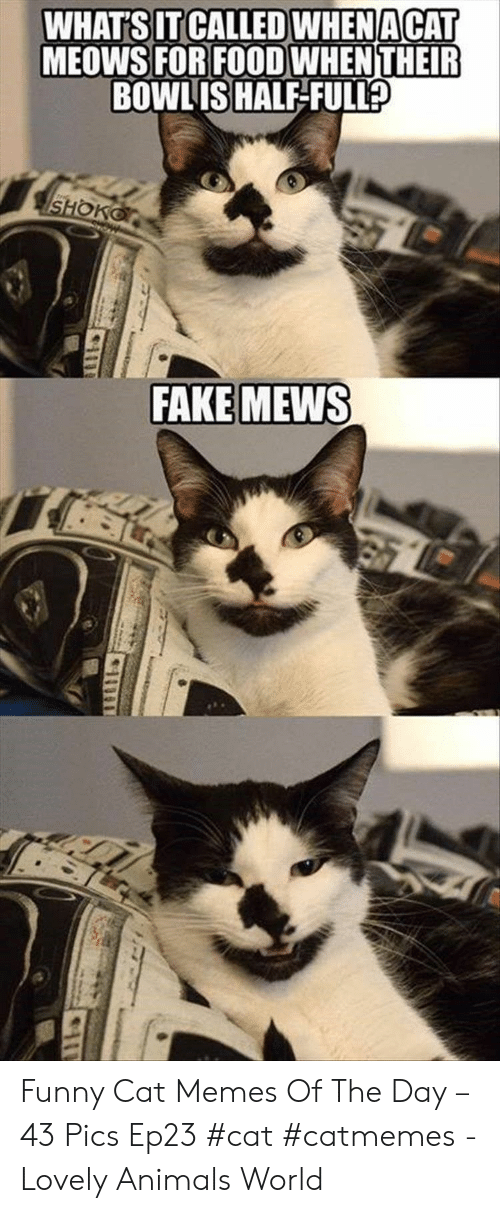 Animals, Fake, and Food: WHAT'S IT CALLED WHENACAT  MEOWS FOR FOOD WHENTHEIR  BOWLIS HALF-FULL  SHOKO  FAKE MEWS Funny Cat Memes Of The Day – 43 Pics Ep23 #cat #catmemes - Lovely Animals World