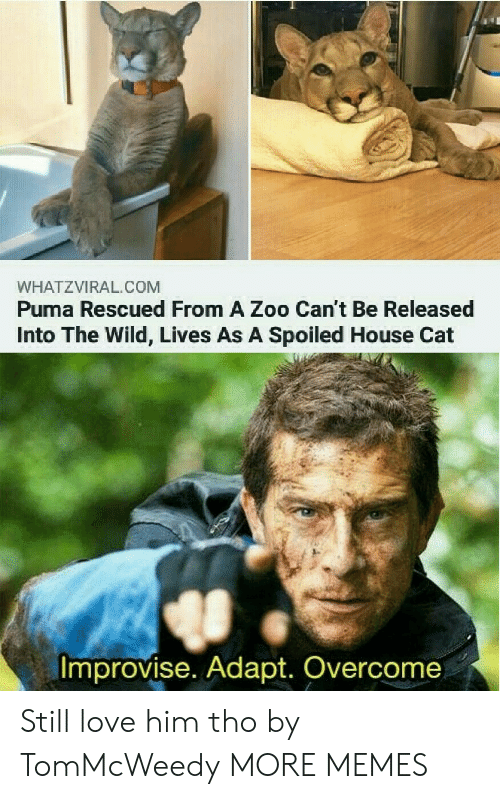 zoo: WHATZVIRAL.COM  Puma Rescued From A Zoo Can't Be Released  Into The Wild, Lives As A Spoiled House Cat  Improvise. Adapt. Overcome Still love him tho by TomMcWeedy MORE MEMES