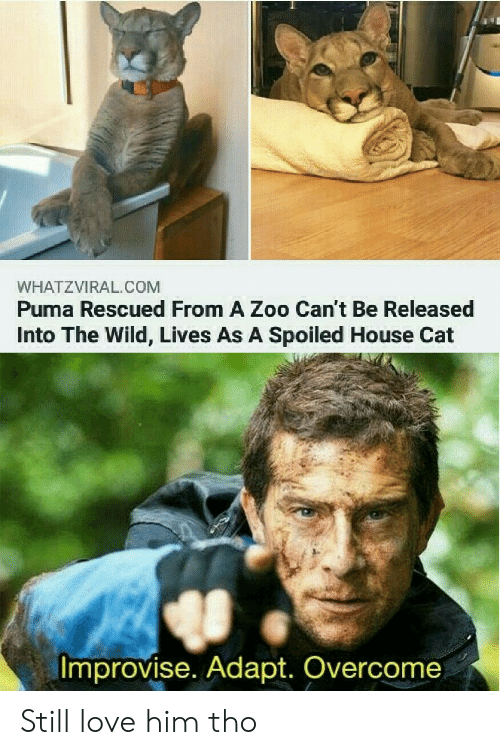 zoo: WHATZVIRAL.COM  Puma Rescued From A Zoo Can't Be Released  Into The Wild, Lives As A Spoiled House Cat  Improvise. Adapt. Overcome Still love him tho