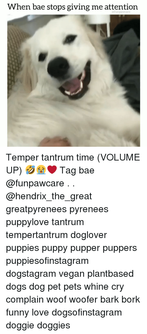 Bae, Dogs, and Funny: When bae stops giving me attention  @funpawcare Temper tantrum time (VOLUME UP) 🤣😭❤️ Tag bae @funpawcare . . @hendrix_the_great greatpyrenees pyrenees puppylove tantrum tempertantrum doglover puppies puppy pupper puppers puppiesofinstagram dogstagram vegan plantbased dogs dog pet pets whine cry complain woof woofer bark bork funny love dogsofinstagram doggie doggies
