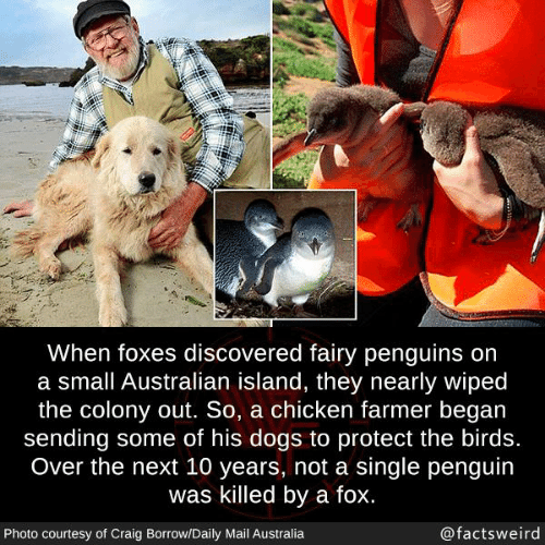 Dogs, Memes, and Australia: When foxes discovered fairy penguins on  a small Australian island, they nearly wiped  the colony out. So, a chicken farmer began  sending some of his dogs to protect the birds.  Over the next 10 years, not a single penguin  was killed by a fox.  Photo courtesy of Craig Borrow/Daily Mail Australia  @factsweird