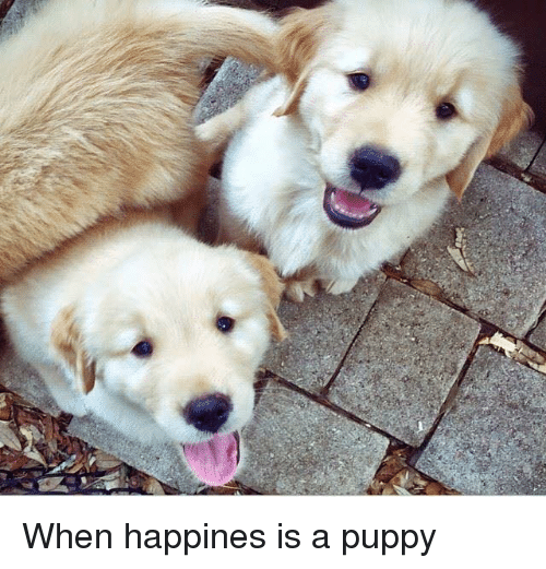 Memes, Puppies, and Puppy: When happines is a puppy