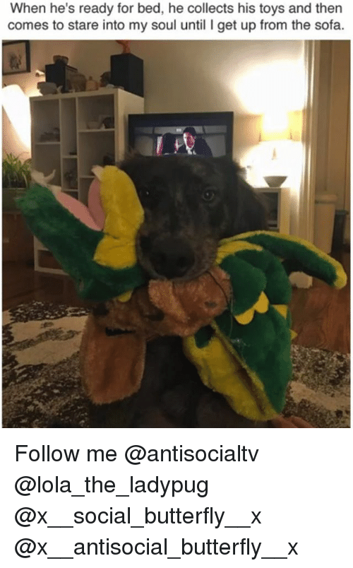 Memes, Butterfly, and Toys: When he's ready for bed, he collects his toys and then  comes to stare into my soul until I get up from the sofa Follow me @antisocialtv @lola_the_ladypug @x__social_butterfly__x @x__antisocial_butterfly__x