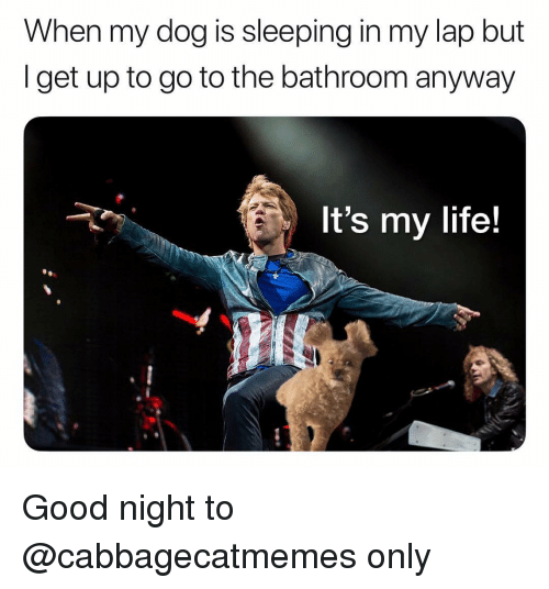 Life, Memes, and Good: When my dog is sleeping in my lap but  Iget up to go to the bathroom anyway  It's my life! Good night to @cabbagecatmemes only