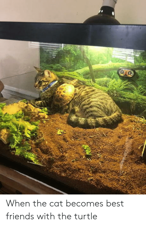 Turtle: When the cat becomes best friends with the turtle