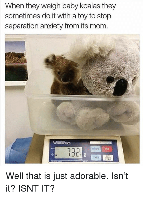 Funny, Anxiety, and Mom: When they weigh baby koalas they  sometimes do it with a toy to stop  separation anxiety from its mom  132  05s  ERO Well that is just adorable. Isn't it? ISNT IT?