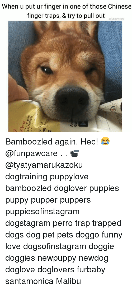 Dogs, Funny, and Love: When u put ur finger in one of those Chinese  finger traps, & try to pull out  @funpawcare Bamboozled again. Hec! 😂@funpawcare . . 📹 @tyatyamarukazoku dogtraining puppylove bamboozled doglover puppies puppy pupper puppers puppiesofinstagram dogstagram perro trap trapped dogs dog pet pets doggo funny love dogsofinstagram doggie doggies newpuppy newdog doglove doglovers furbaby santamonica Malibu