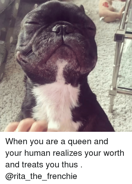 Memes, Queen, and 🤖: When you are a queen and your human realizes your worth and treats you thus . @rita_the_frenchie