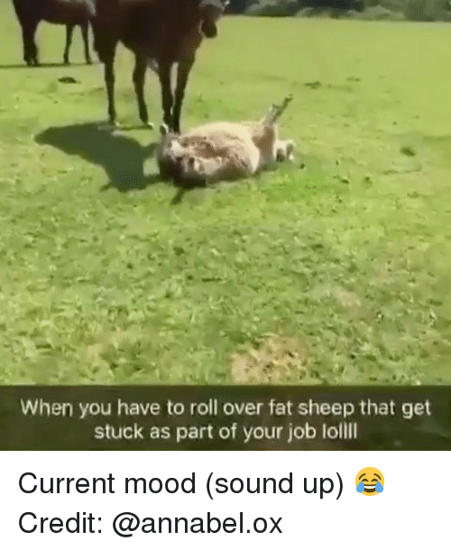 Memes, Mood, and Fat: When you have to roll over fat sheep that get  stuck as part of your job loll Current mood (sound up) 😂 Credit: @annabel.ox