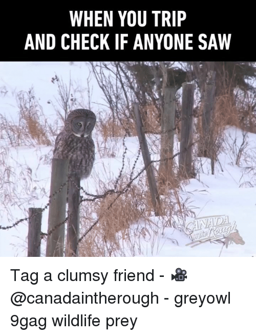 9gag, Memes, and Saw: WHEN YOU TRIP  AND CHECK IF ANYONE SAW Tag a clumsy friend - 🎥@canadaintherough - greyowl 9gag wildlife prey