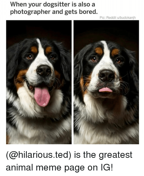 Bored, Meme, and Memes: When your dogsitter is also a  photographer and gets bored.  Pic: Reddit u/budokanjh (@hilarious.ted) is the greatest animal meme page on IG!