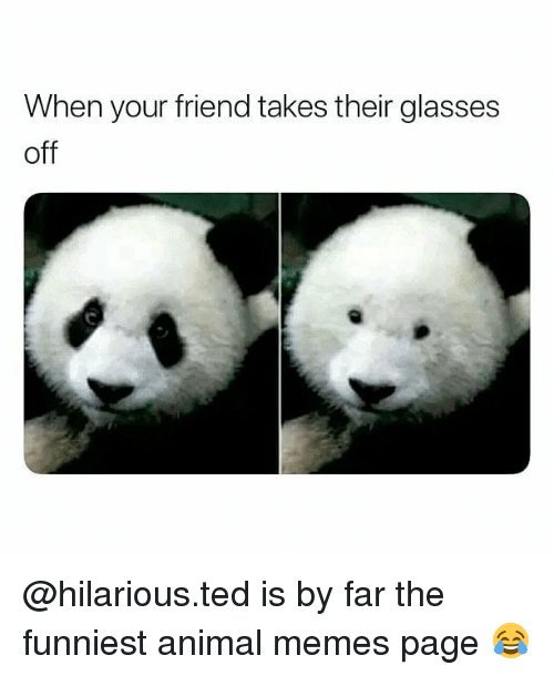 Memes, Ted, and Animal: When your friend takes their glasses  off @hilarious.ted is by far the funniest animal memes page 😂