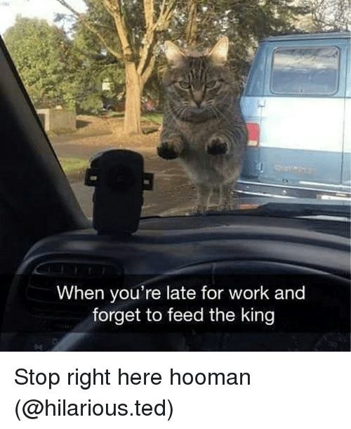 Hoomans: When you're late for work and  forget to feed the king Stop right here hooman (@hilarious.ted)