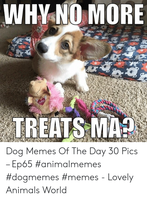 Dog Memes: WHY NO MORE  चष  Corow  CUPID  TREATS MA? Dog Memes Of The Day 30 Pics – Ep65 #animalmemes #dogmemes #memes - Lovely Animals World