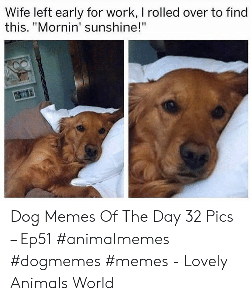 "Animals, Memes, and Work: Wife left early for work, I rolled over to find  this. ""Mornin' sunshine!"" Dog Memes Of The Day 32 Pics – Ep51 #animalmemes #dogmemes #memes - Lovely Animals World"